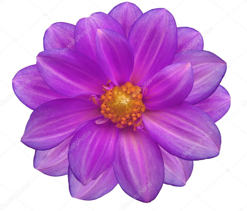 Purple Flower Garden White Isolated Background With Clipping Path