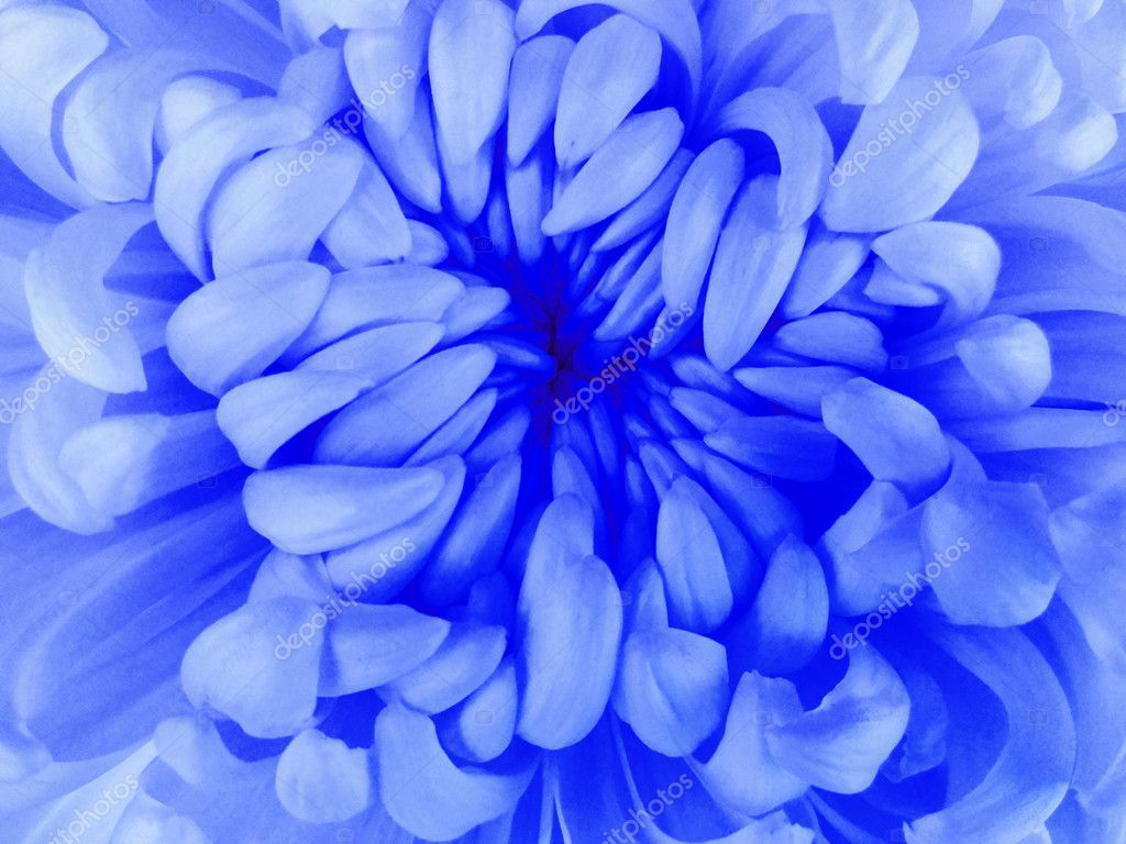 White chrysanthemum flower closeupcro nature the air like a white chrysanthemum flower closeupcro nature the air like a cloud flower dark blue center photo by fefelovadezhda2017yandex mightylinksfo
