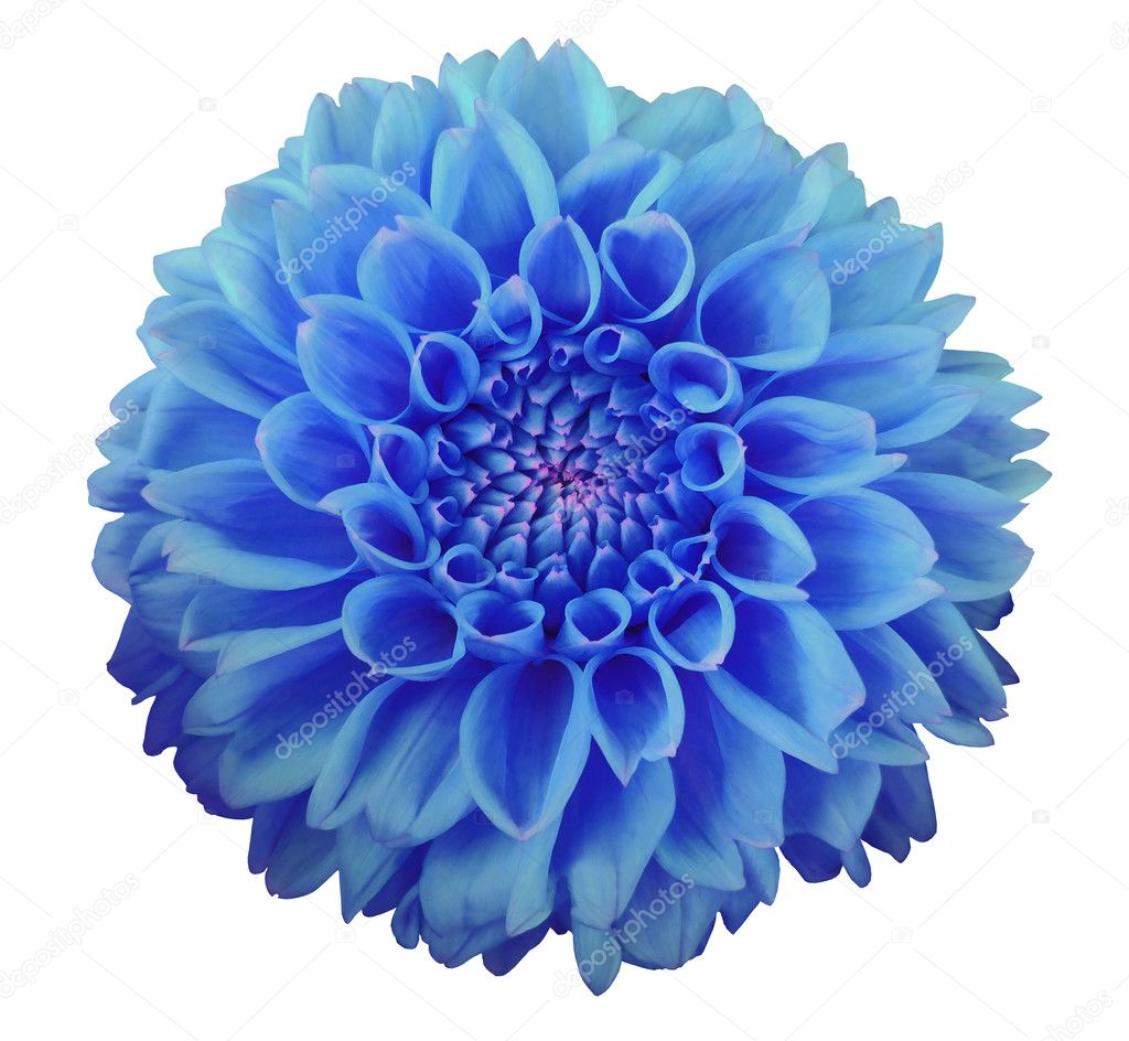 Blue dahlia flower white background isolated with clipping path blue dahlia flower white background isolated with clipping path closeup stock photo mightylinksfo