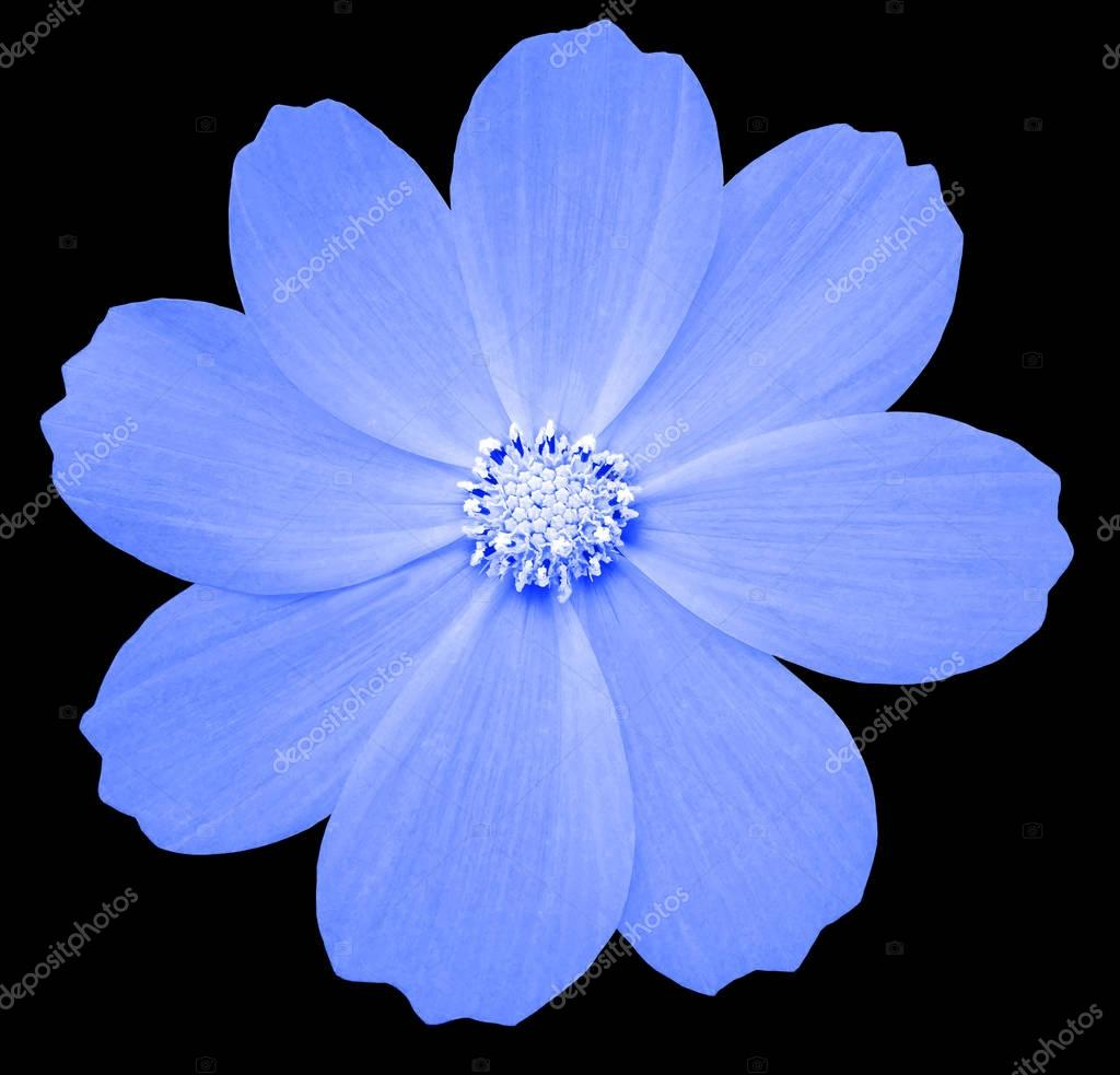 Blue flower primula the black isolated background with clipping blue flower primula the black isolated background with clipping path closeup no shadows white center nature photo by fefelovadezhda2017yandex mightylinksfo