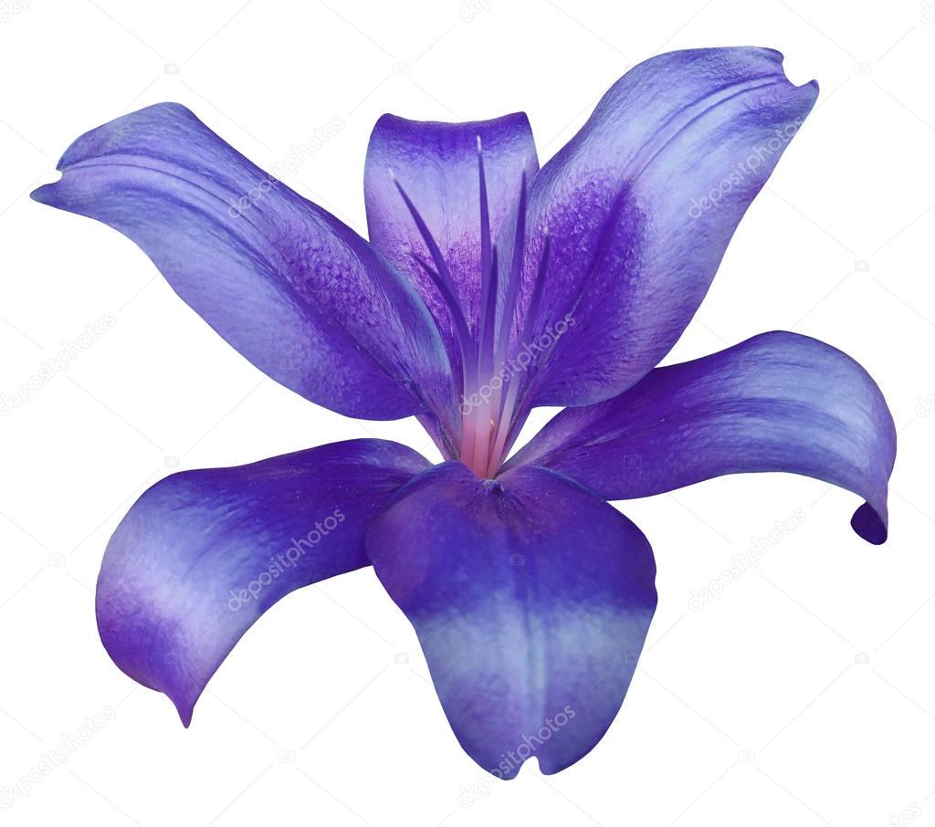 Lily Purple Flower Isolated With Clipping Path On A White