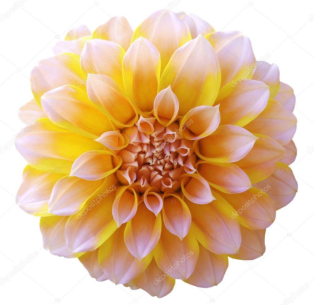 Dahlia Light Yellow Flower Variegated Flower White Background