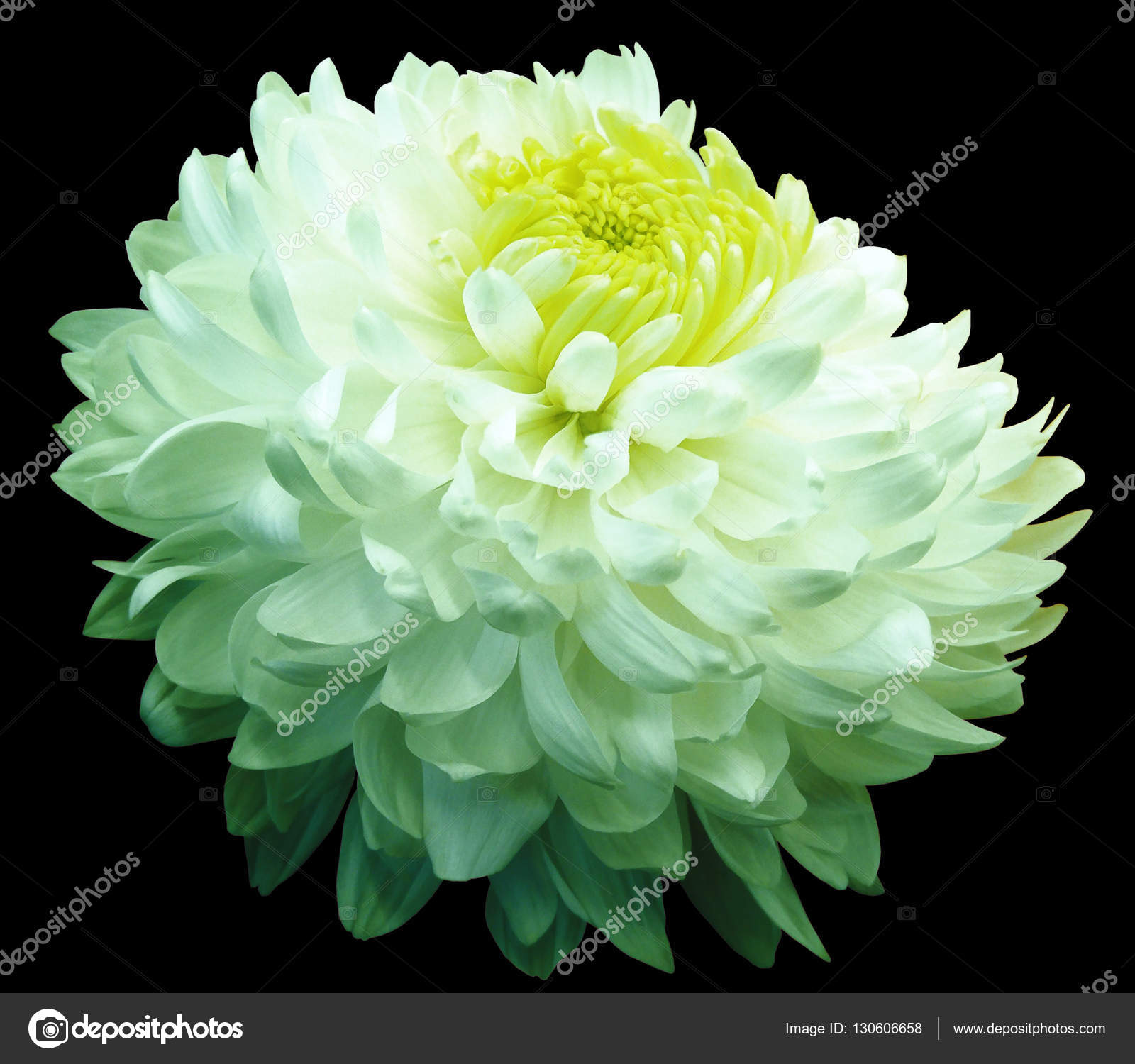 Green White Chrysanthemum Flower Yellow Center Black Background