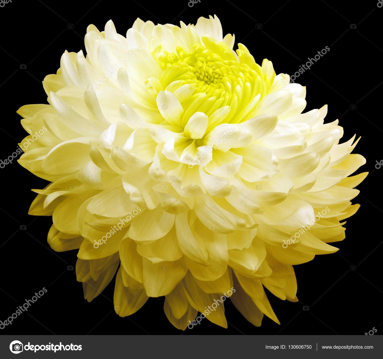 White Yellow Chrysanthemum Flower Yellow Center Black Background
