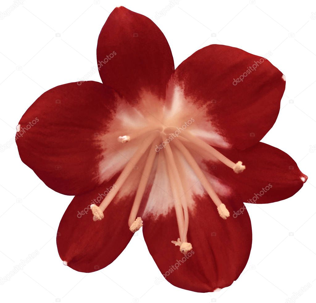 lily red flower, isolated  with clipping path, on a white background. light pink pistils, stamens. Light-pink center. for design. Closeup.