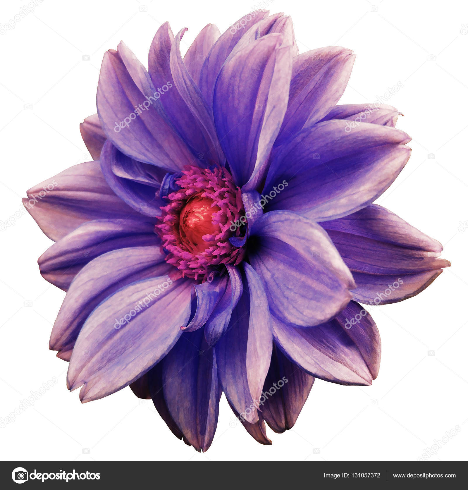 Violet Blue White Flower Dahlia White Isolated Background With