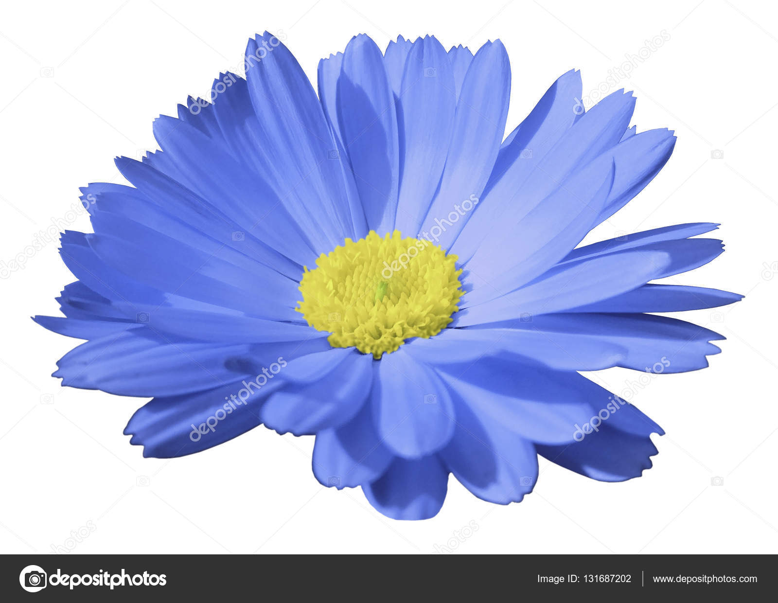 Blue Flower Calendula The White Isolated Background With Clipping