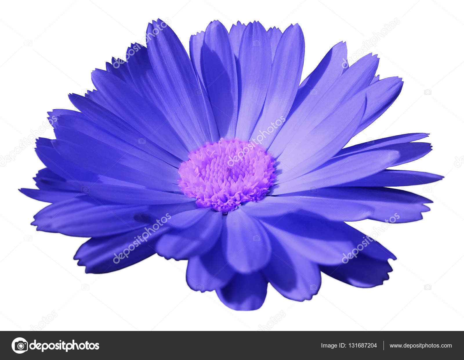 Blue flower calendula the white isolated background with clipping blue flower calendula the white isolated background with clipping path closeup no shadows light violet center nature mightylinksfo