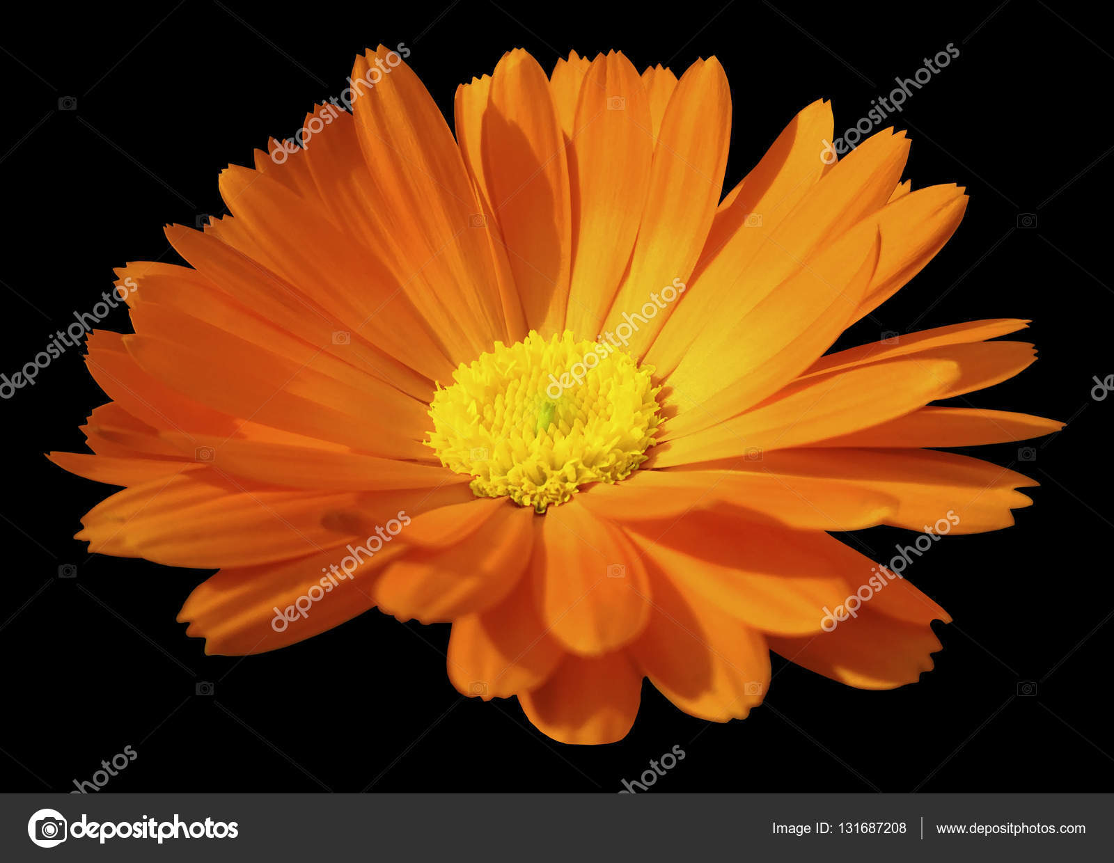 Orange Flower Calendula The Black Isolated Background With Clipping