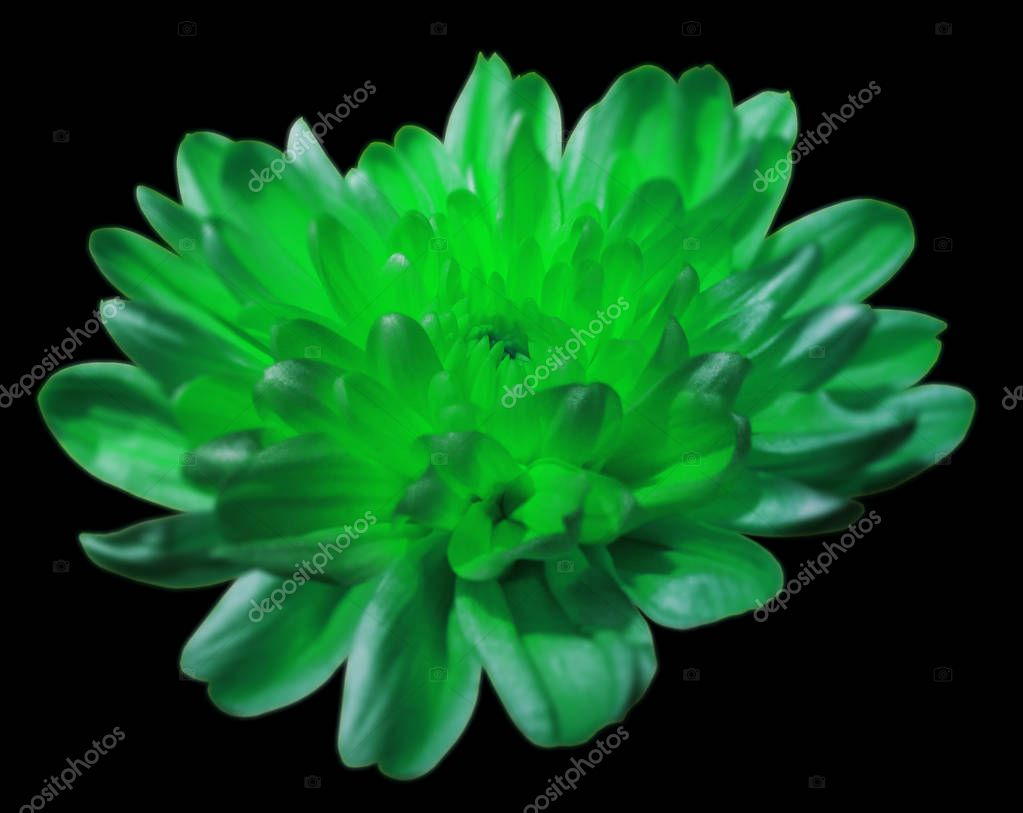 green-turquoise  chrysanthemum flower. black isolated background with clipping path. Closeup. Nature.