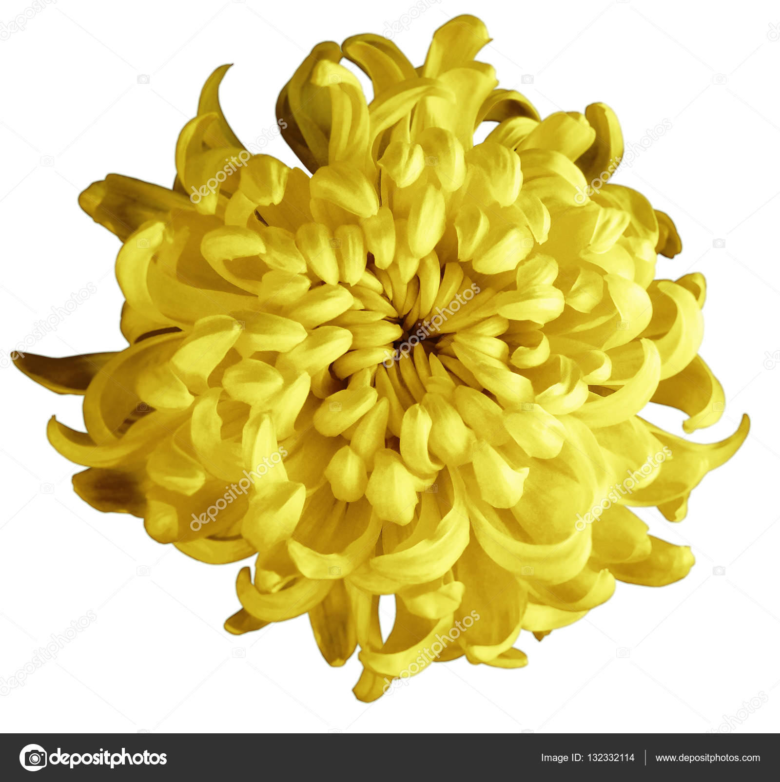 Chrysanthemum Yellow Brown Autumn Flower Isolated With Clipping Path