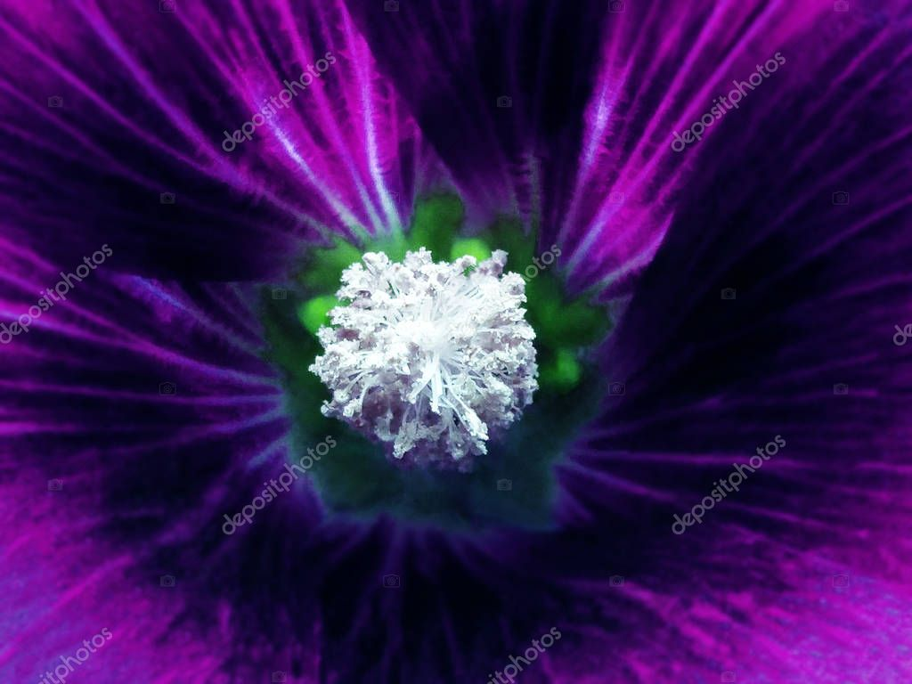 purple flower on a blurred background. Macro. Closeup. Furry white center.  For design. Nature.