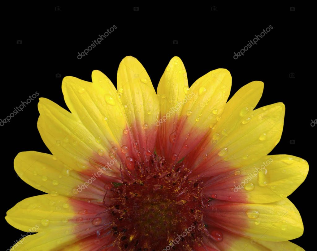 Yellow and red flower  after the rain. Black isolated background with clipping path. Closeup with no shadows. Nature.