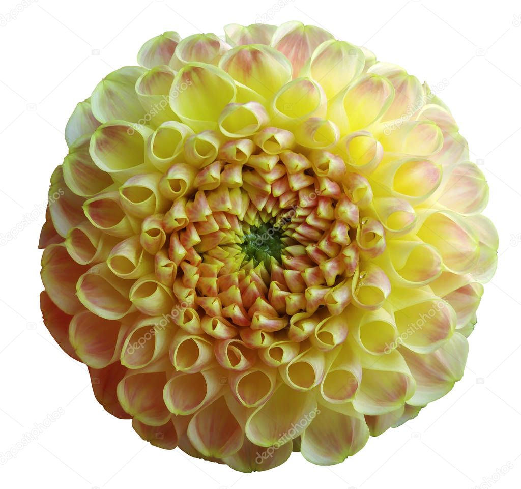 flower rainbow yellow  dahlia white isolated background with clipping path. Closeup. no shadows. Nature.