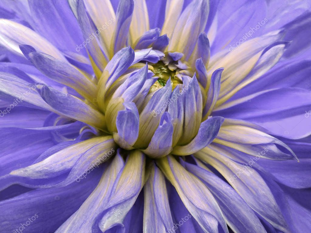 dahlia  flower violet-yellow.  Closeup.  beautiful dahlia side view  for design. Macro. Nature.