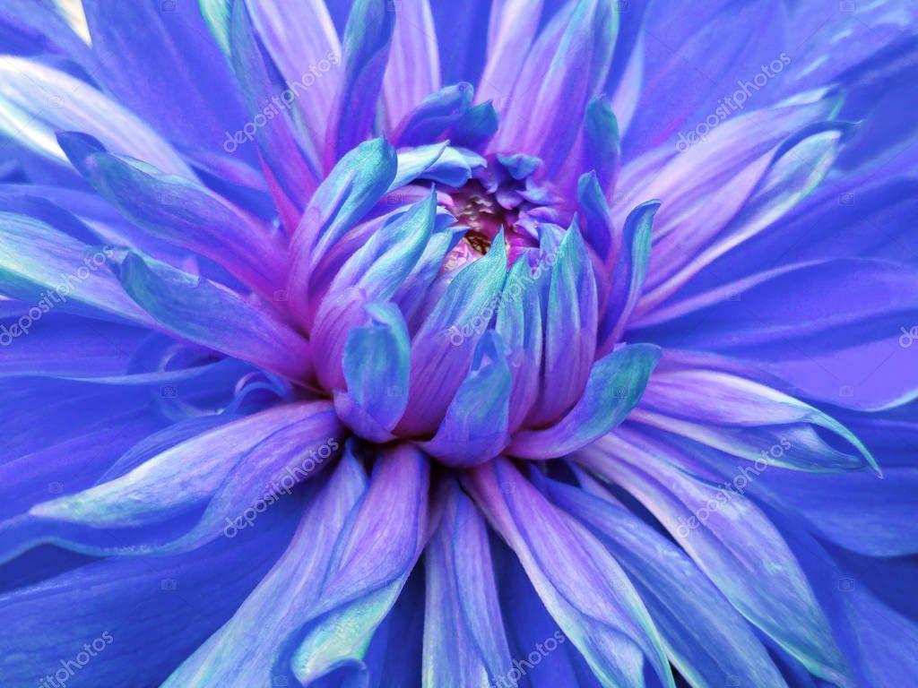dahlia  flower blue.  Closeup.  beautiful dahlia side view  for design. Macro. Nature.