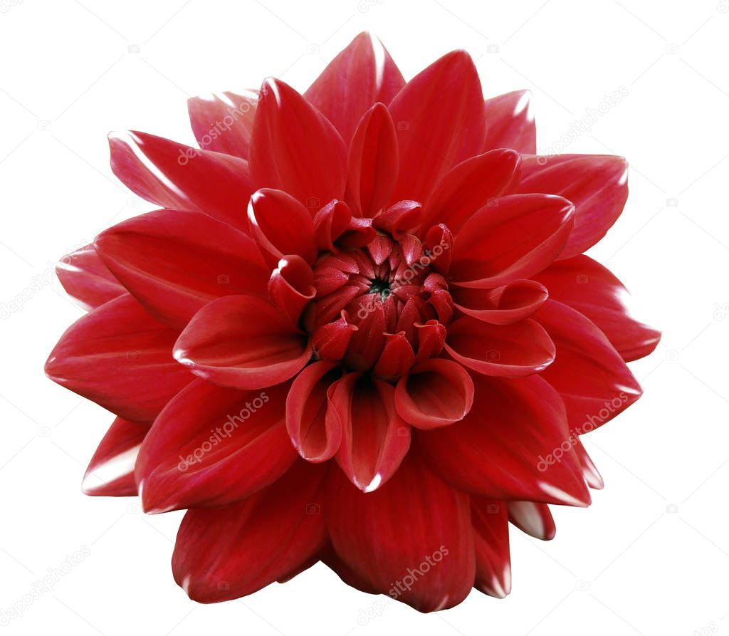 Flower red  motley dahlia. Isolated on a white background. Close-up. without shadows. For design.