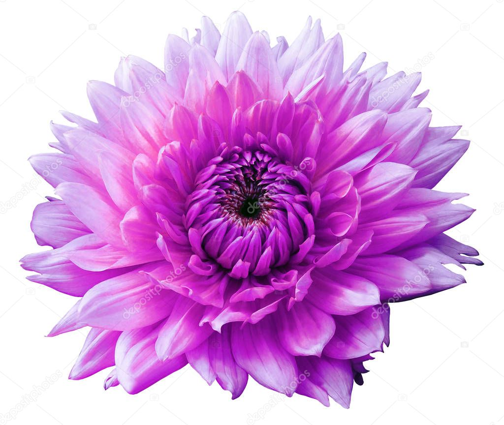 Flower pink motley dahlia. Isolated on a white background. Close-up. without shadows. For design.
