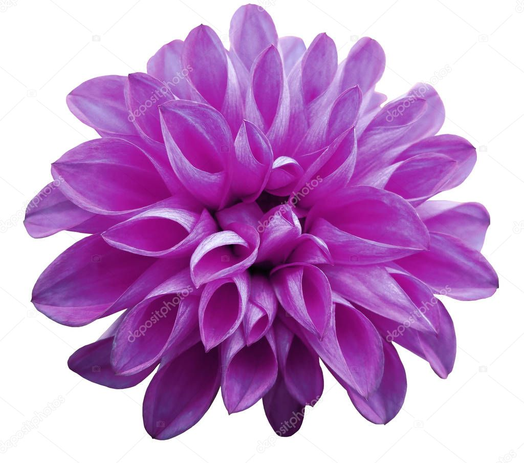 flower  light pink  dahlia  isolated on white background is no shade. Suitable for designers. Closeup.