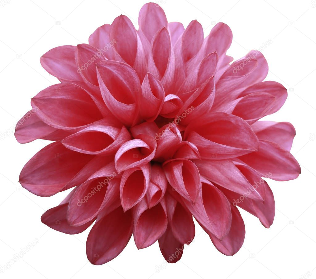 flower  light red  dahlia  isolated on white background is no shade. Suitable for designers. Closeup.