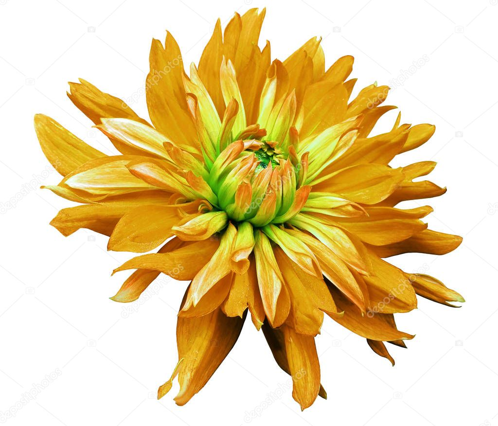big orange flower opens on a white  background isolated  with clipping path. Closeup. side view for design. with drops of water. Dahlia.