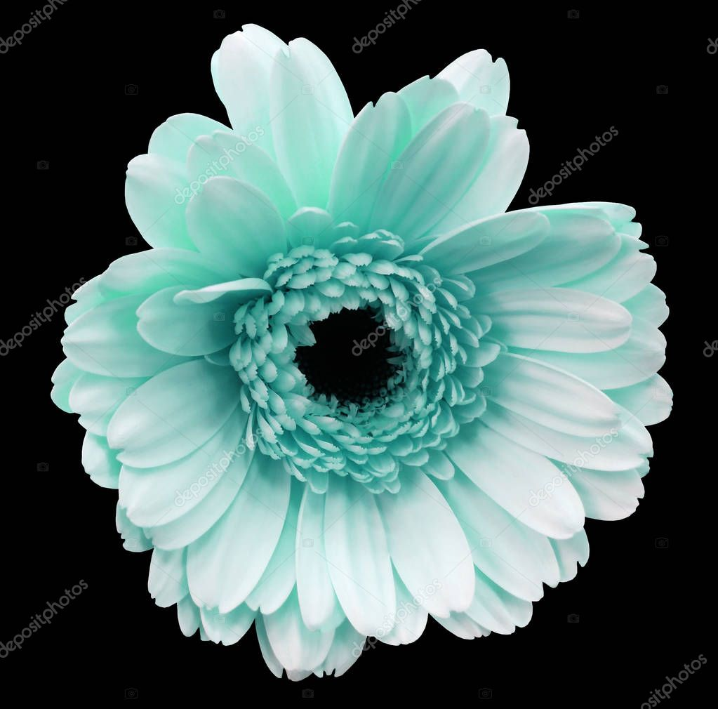 light turquoise gerbera flower, black isolated background with clipping path.   Closeup.  no shadows.  For design.  Nature.