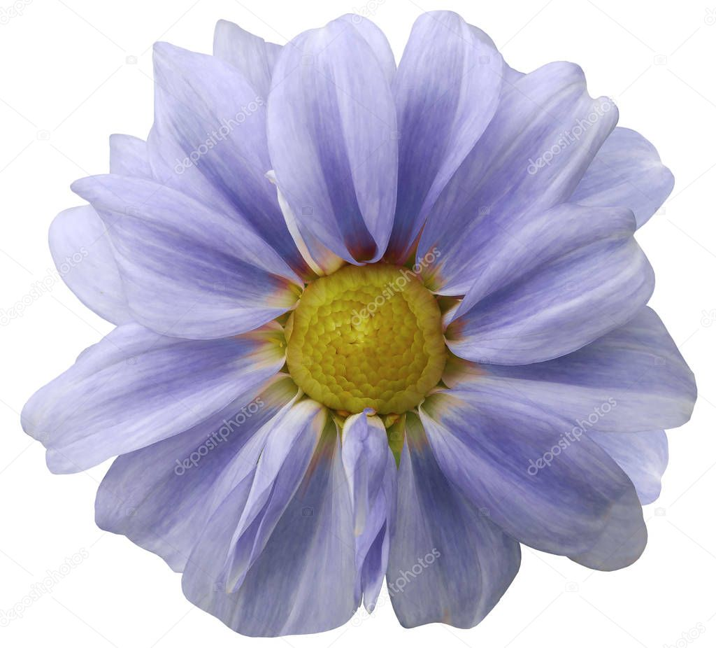 Dahlia  light blue  flower.  white  background isolated  with clipping path. Closeup. with no shadows.  Nature.