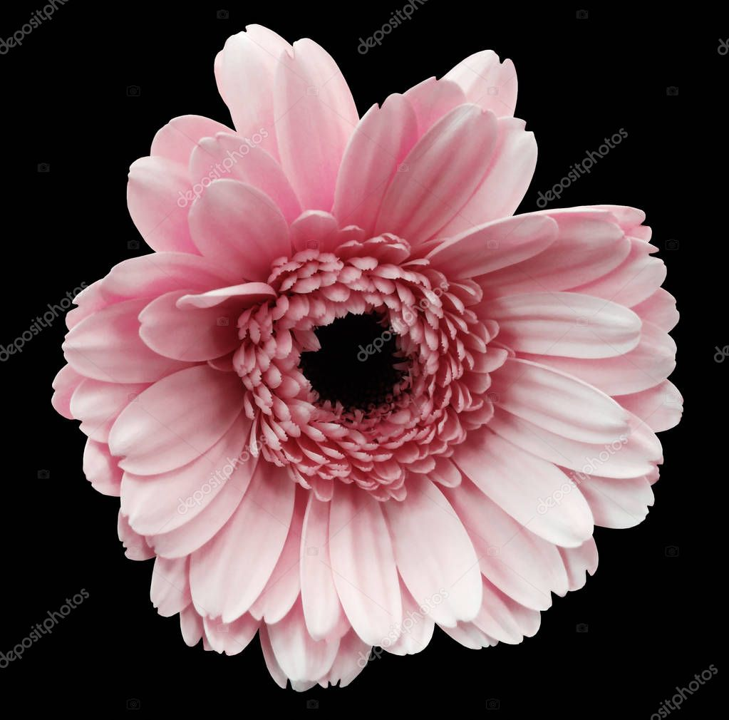 pink gerbera flower black isolated background with clipping path. Closeup. no shadows. For design. Nature.