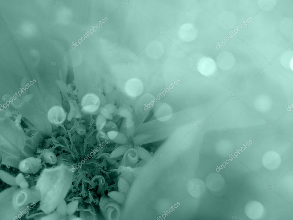 Turquoise-white flower on the  blurred bokeh  background. Close-up. floral composition. floral background.  Nature.