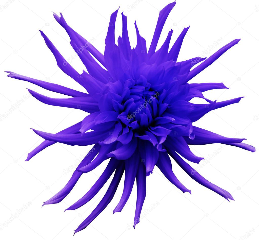 Blue-violet  Dahlia flower, white isolated background with clipping path.   Closeup.  no shadows.  For design.  Bright shaggy flower.