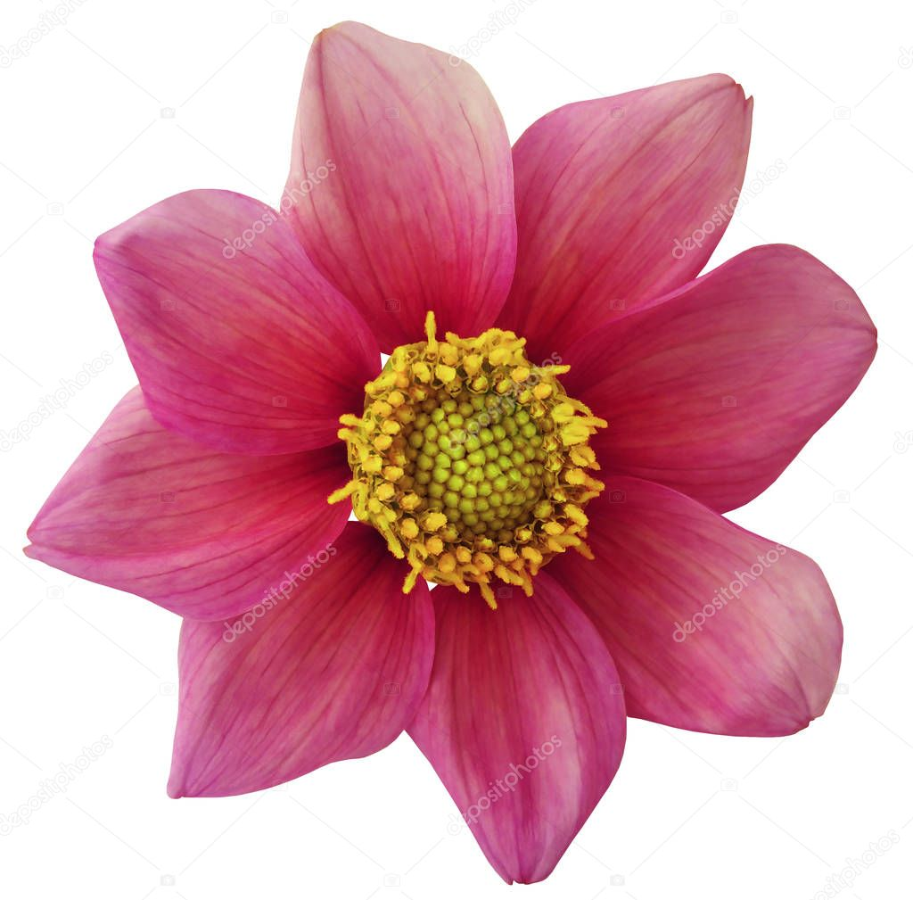 Dahlia flower  pink, white isolated background with clipping path.   Closeup.  no shadows.  For design. eight petals.  Nature.