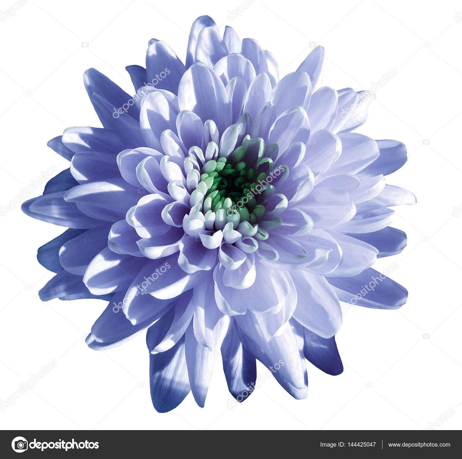 Blue white flower chrysanthemum garden flower white isolated blue white flower chrysanthemum garden flower white isolated background with clipping path closeup no shadows green centre nature izmirmasajfo