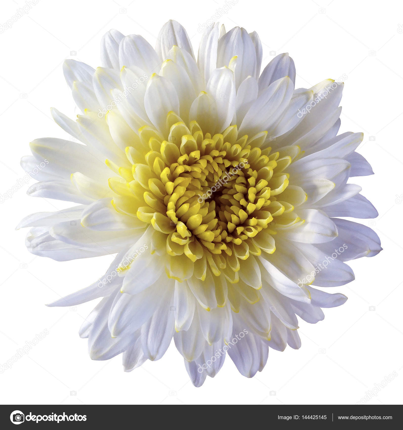 White flower chrysanthemum, garden flower, white isolated background with clipping path. Closeup.