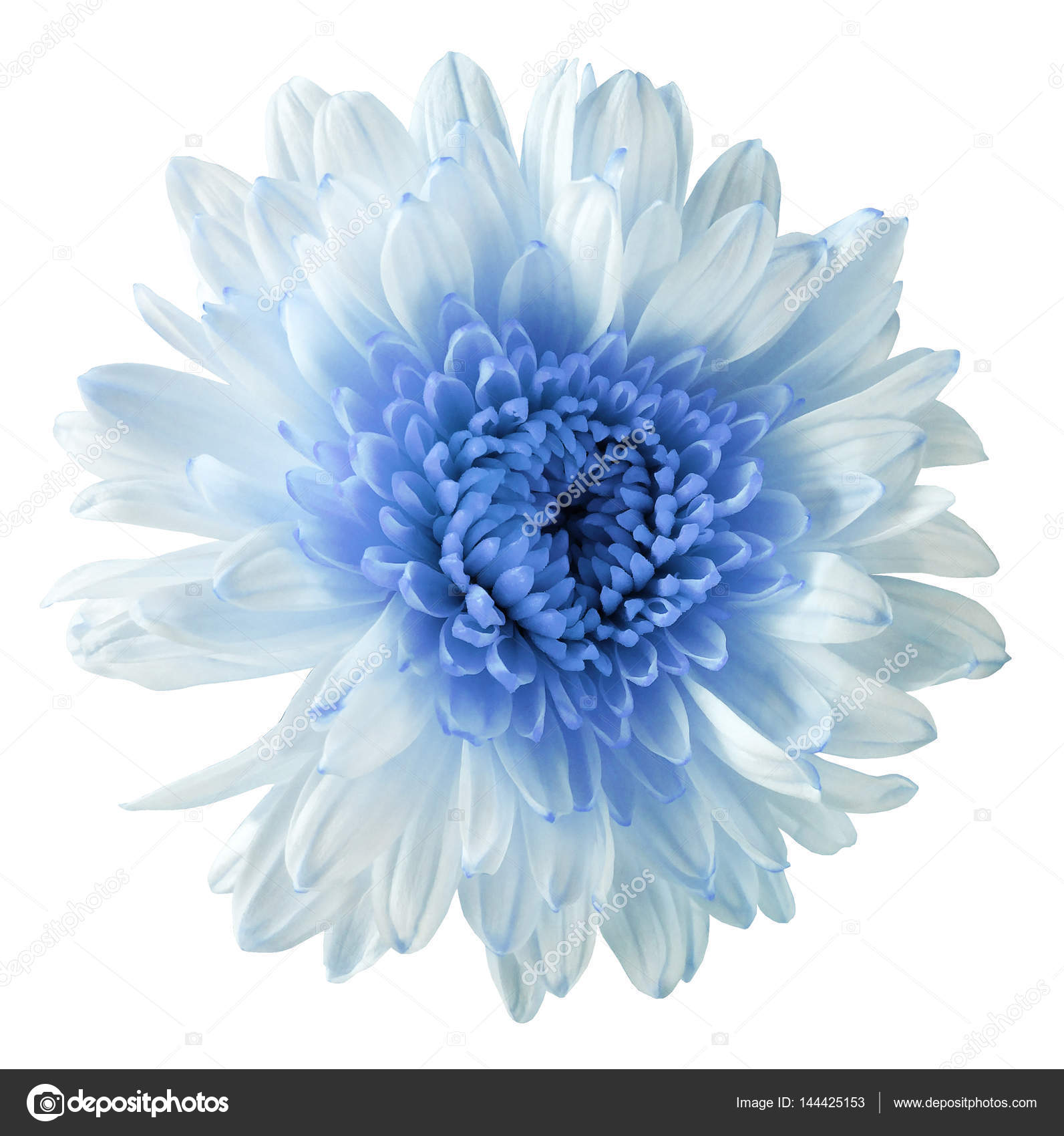 White blue flower chrysanthemum garden flower white isolated white blue flower chrysanthemum garden flower white isolated background with clipping path closeup no shadows blue centre nature mightylinksfo