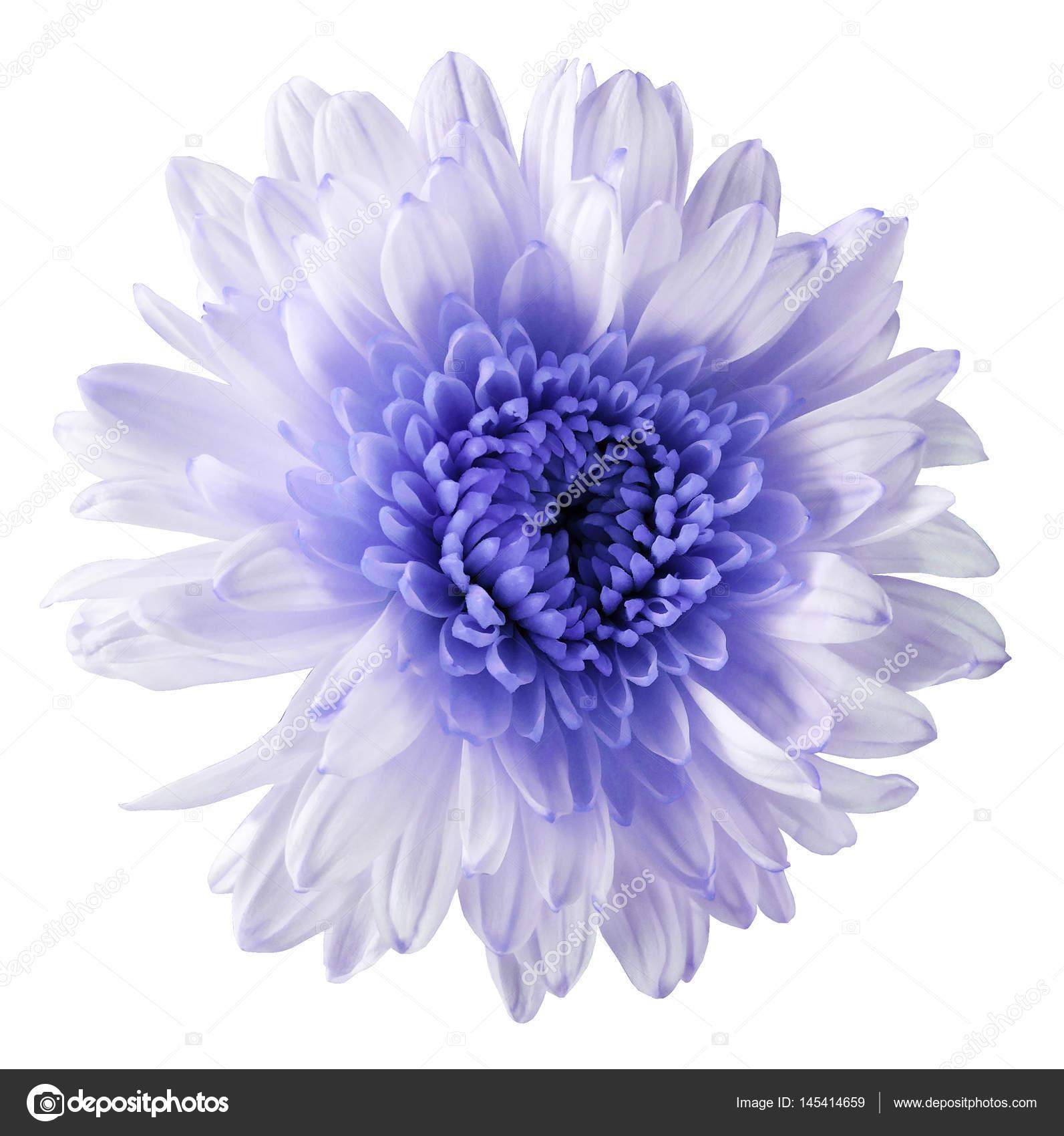 White violet flower chrysanthemum garden flower white isolated white violet flower chrysanthemum garden flower white isolated background with clipping path closeup no shadows blue centre nature mightylinksfo