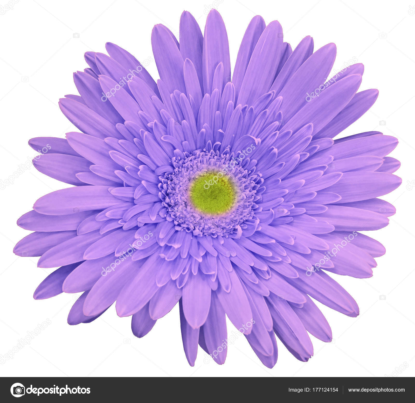 Light violet gerbera flower white isolated background clipping path light violet gerbera flower white isolated background clipping path closeup stock photo mightylinksfo