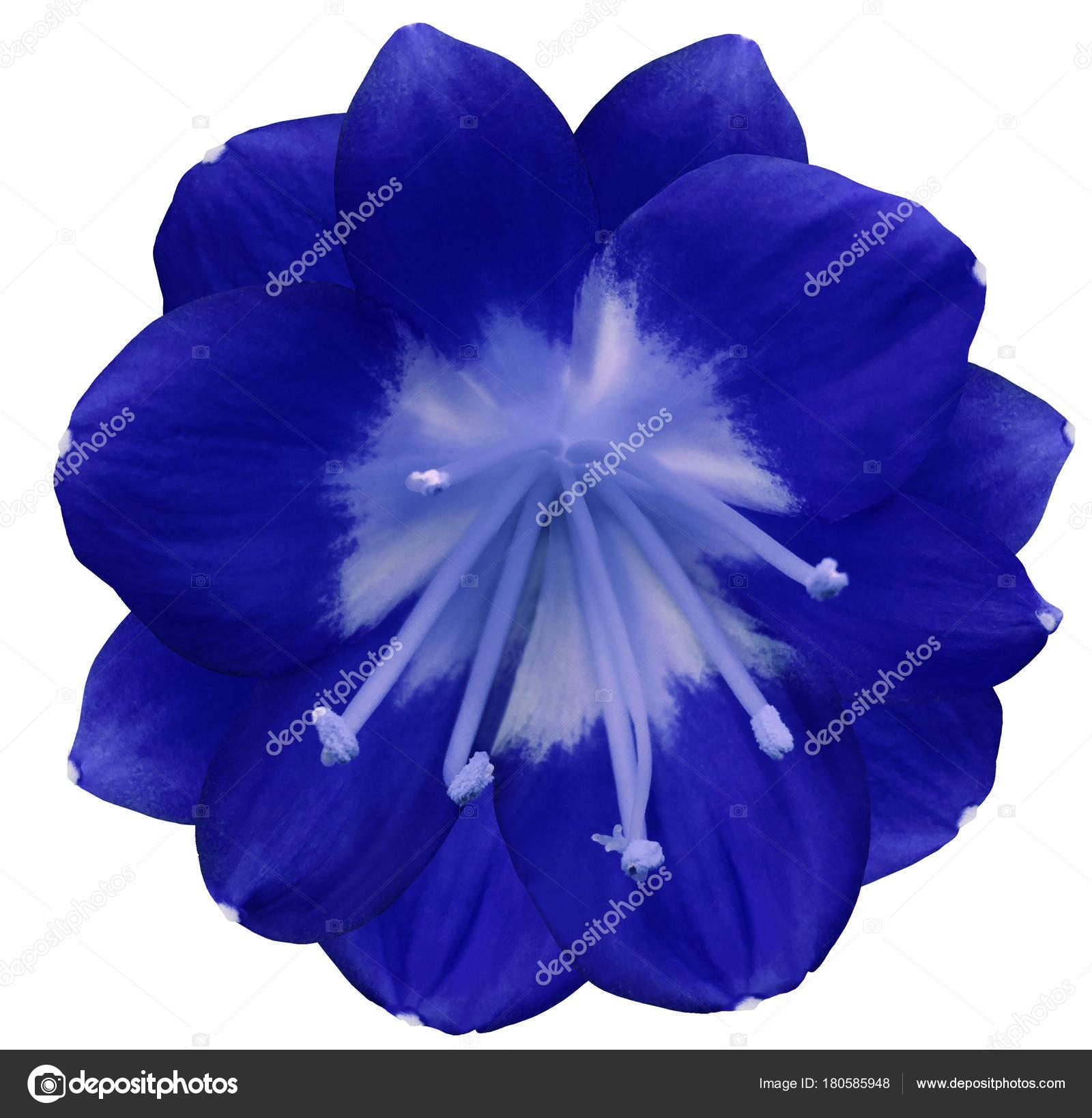 Lily blue flower isolated clipping path white background yellow lily blue flower isolated with clipping path on a white background yellow pistils stamens yellow center for design closeup mightylinksfo