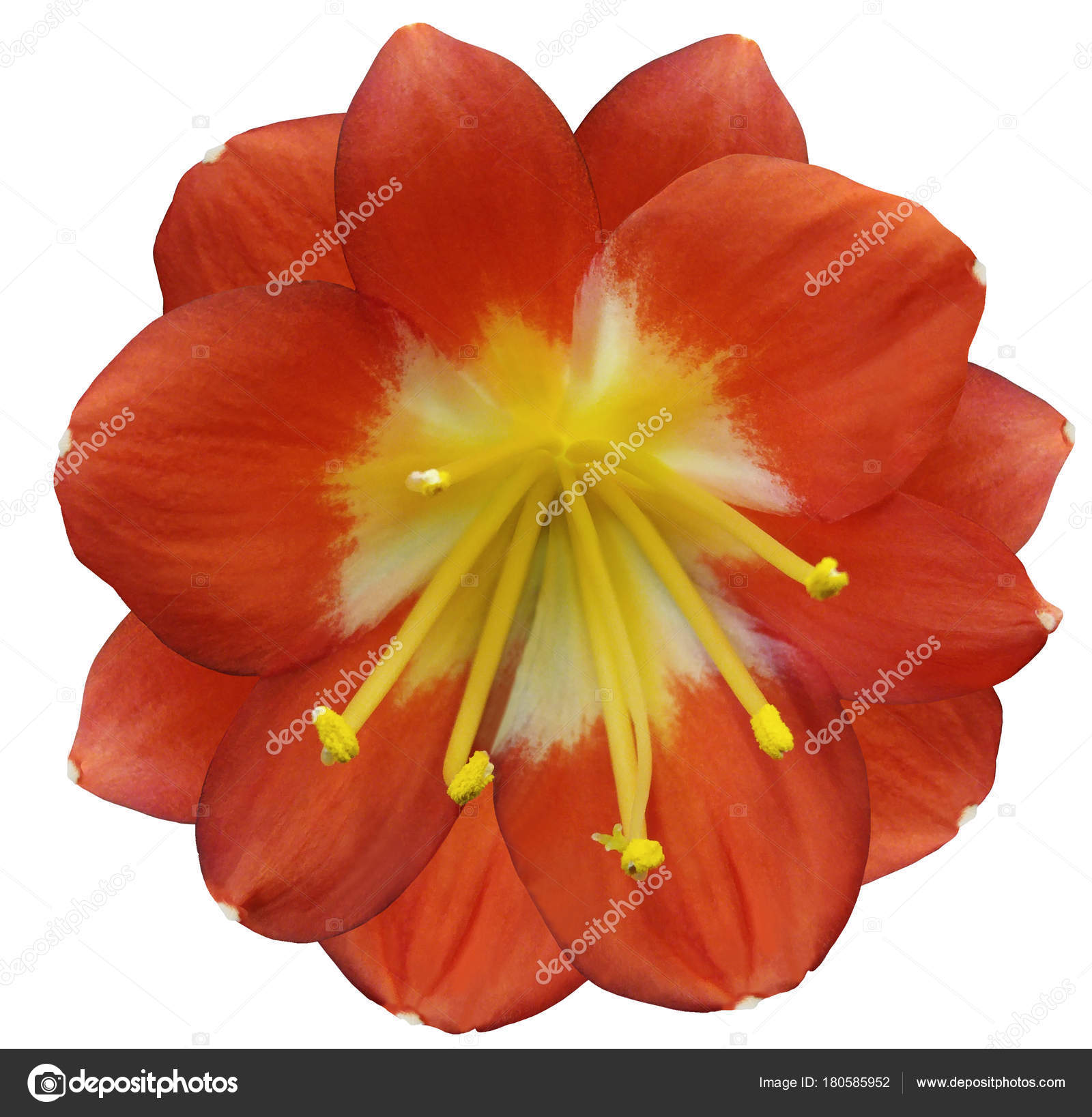 Lily Orange Flower Isolated Clipping Path White Background Yellow