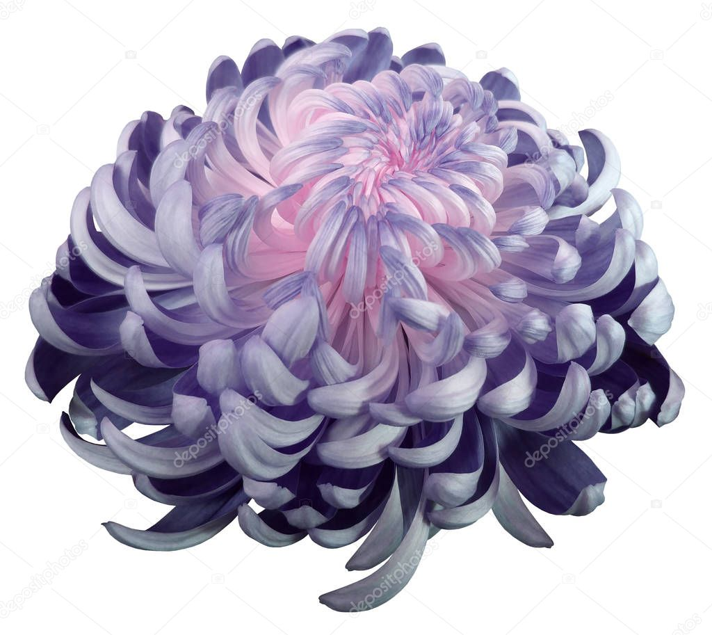pink-violet flower chrysanthemum.  Side view.  Motley garden flower.  white  isolated background with clipping path no shadows.  Closeup.   Nature.