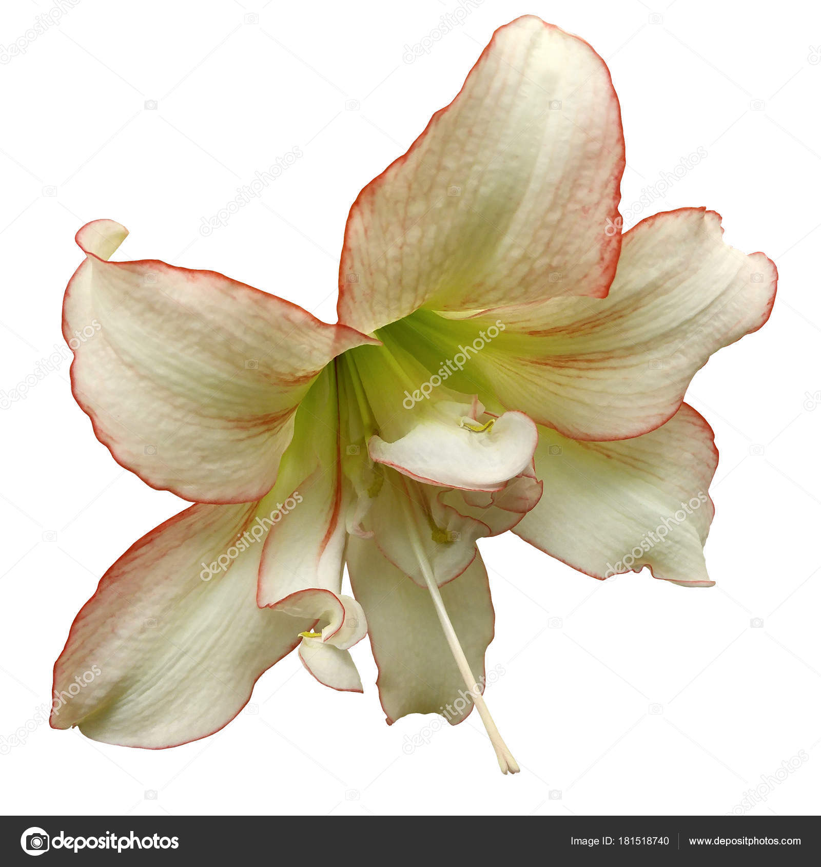 White Red Big Flower White Isolated Background Clipping Path Closeup