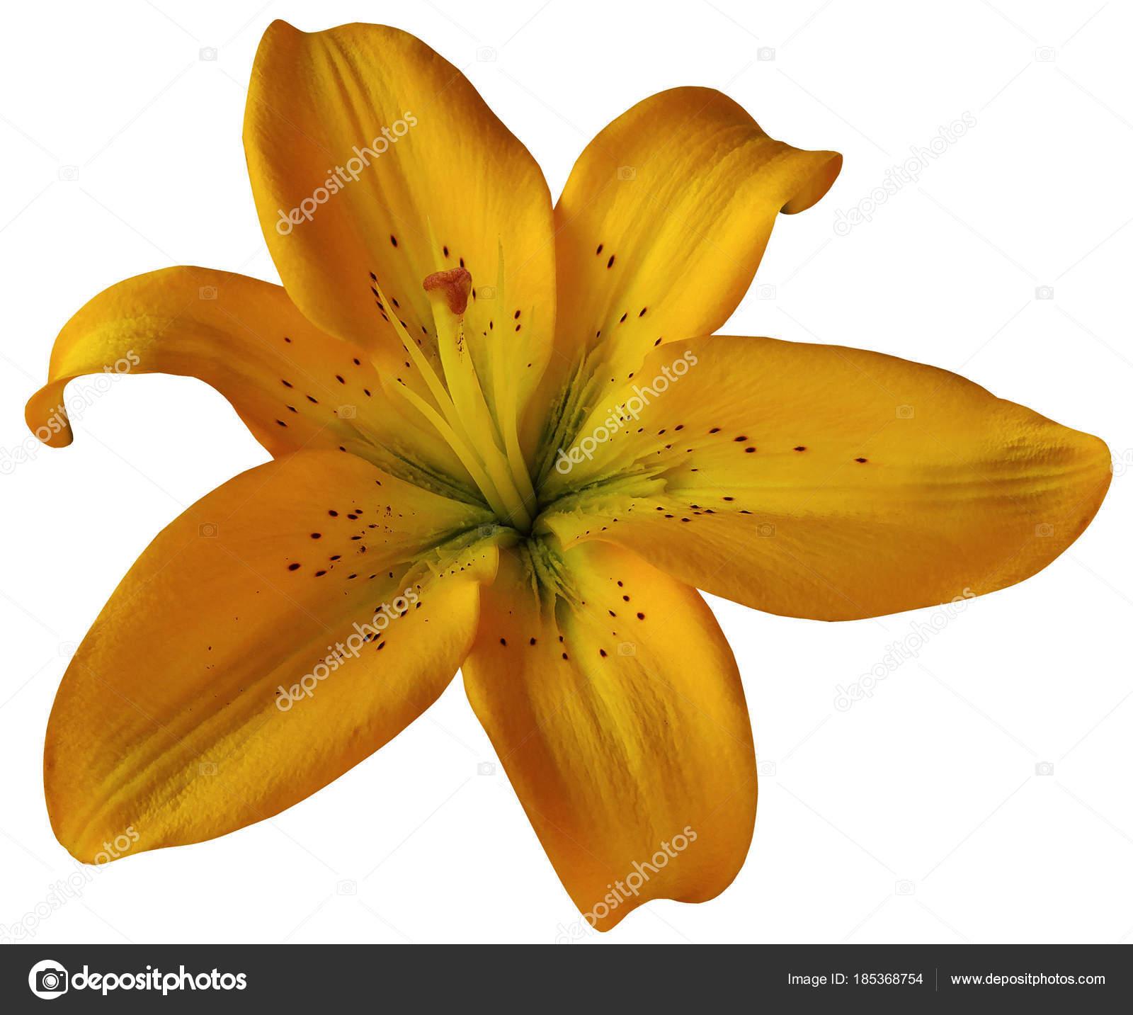 Fleur Lys Orange Sur Fond Blanc Isole Avec Trace Detourage