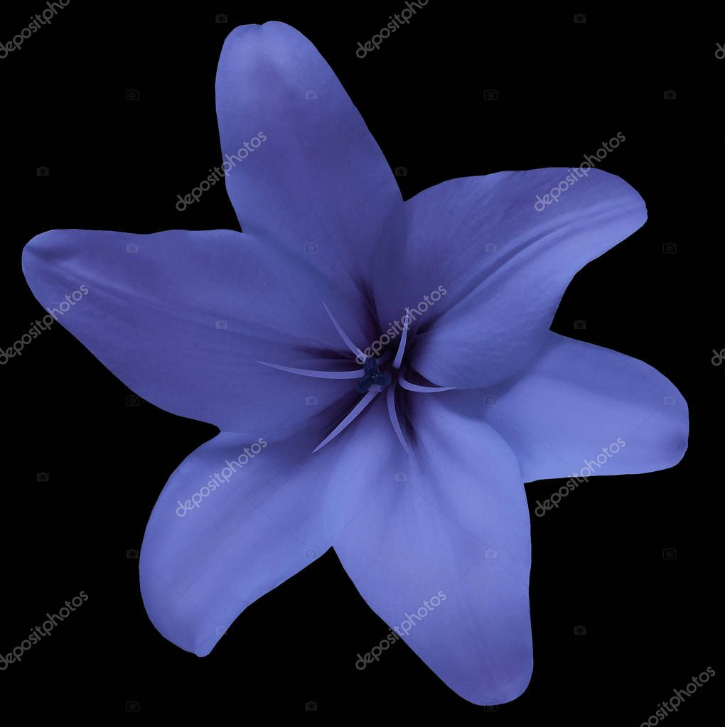 Flower lily blue on the black background  isolated  with clipping path.  For design. Closeup. Nature.