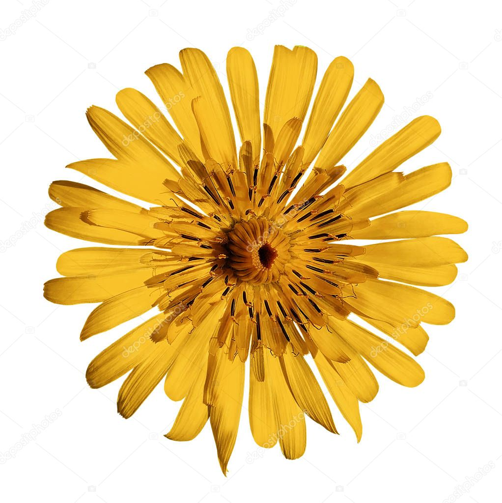 flower orange on white isolated background with clipping path.  no shadows. Closeup.  Nature.