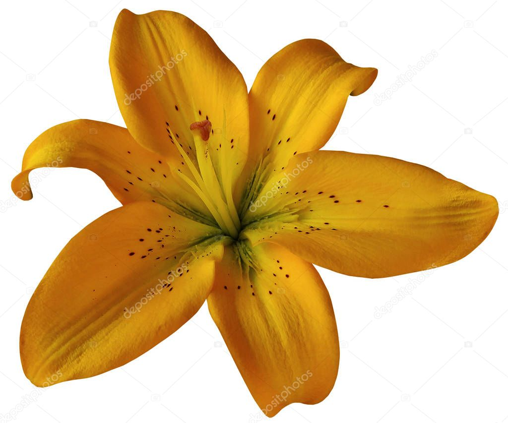 Orange lily flower on isolated white background with clipping path. Closeup.  no shadows.  For design.  Nature.