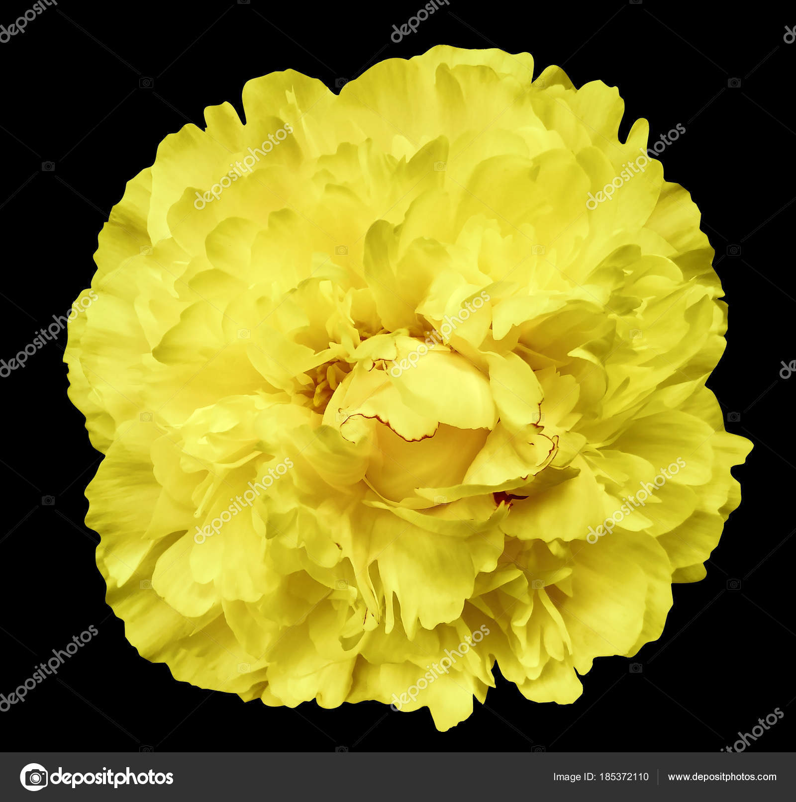 Peony Flower Yellow Black Isolated Background Clipping Path Nature