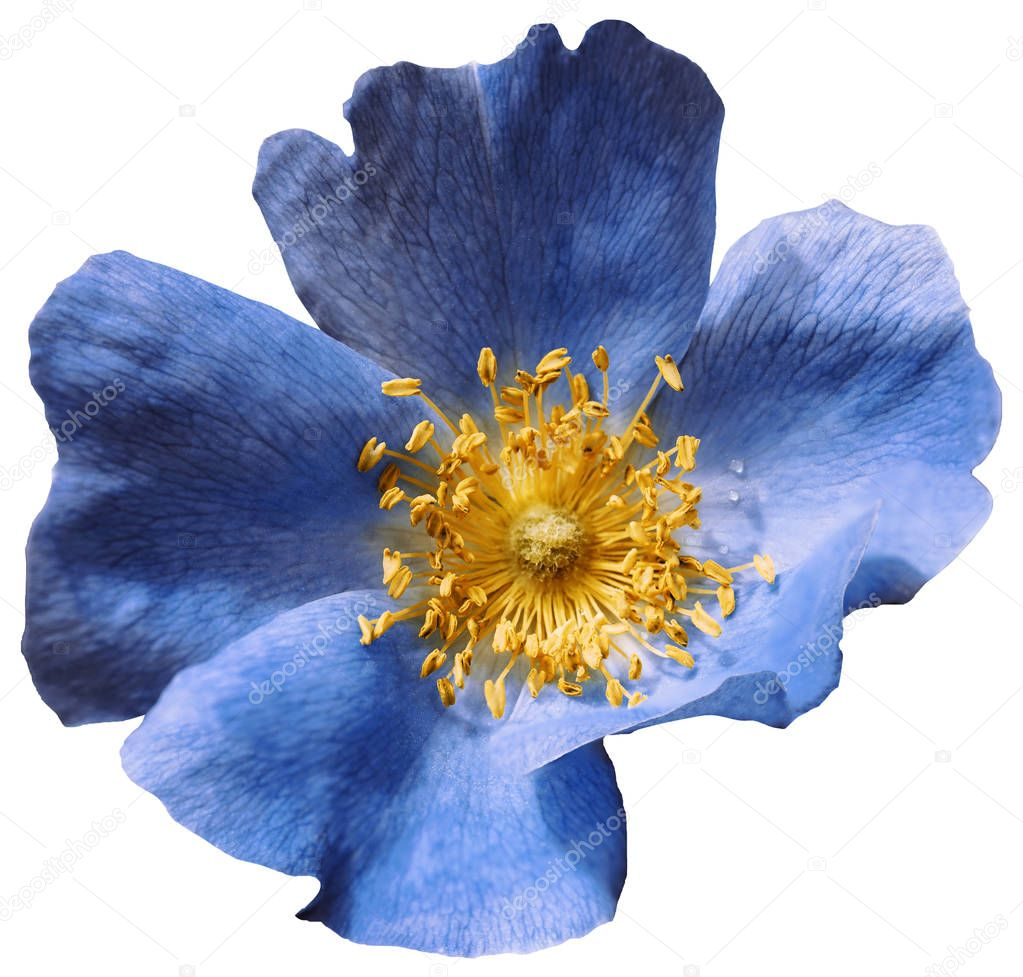Flower blue  on a white isolated background with clipping path. Nature. Closeup no shadows. Garden flower.