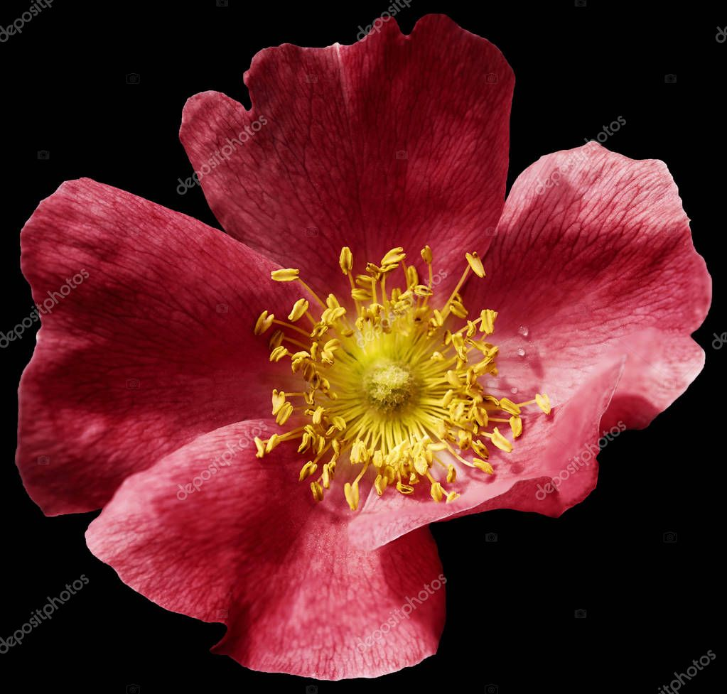 Flower red  on the black isolated background with clipping path. Nature. Closeup no shadows. Garden flower.