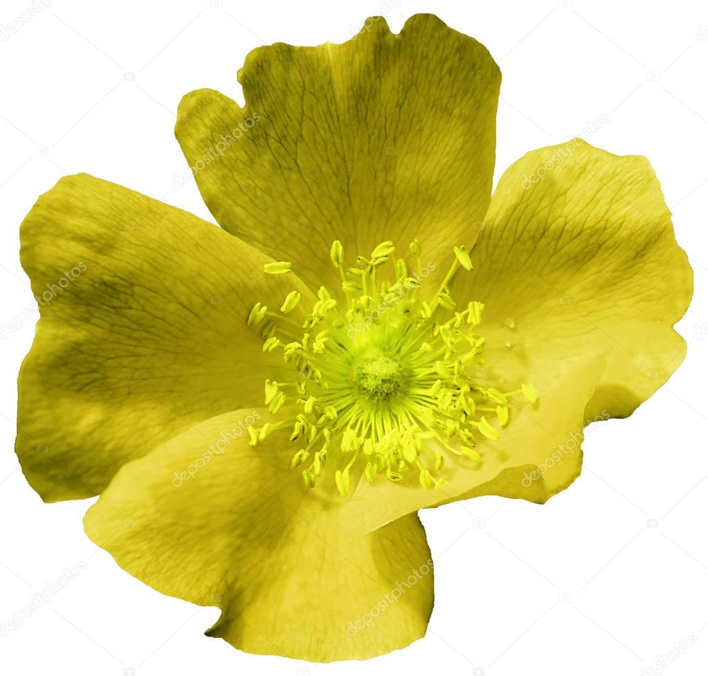 Flower  yellow on a white isolated background with clipping path. Nature. Closeup no shadows.