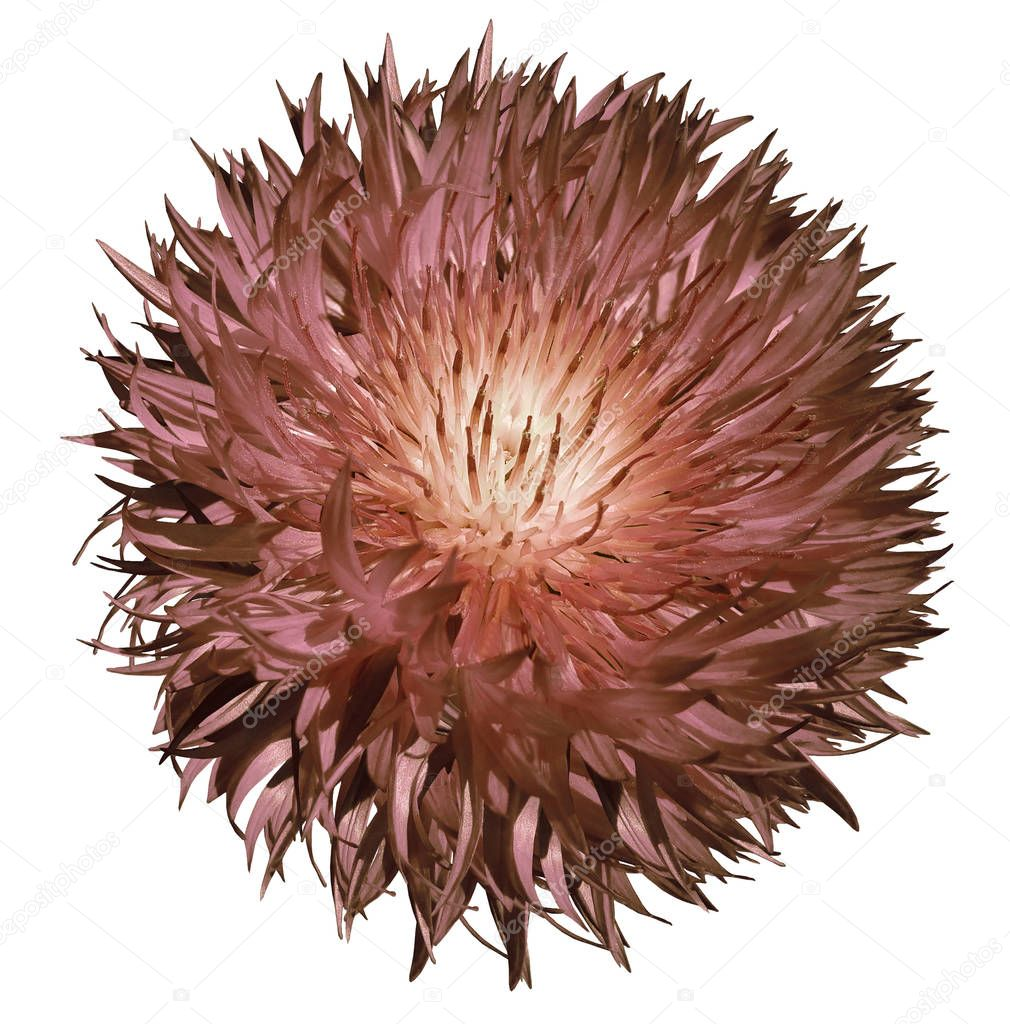 Flower brown  on  a white  isolated background with clipping path.   Closeup.  No shadows.  For design.  Nature.