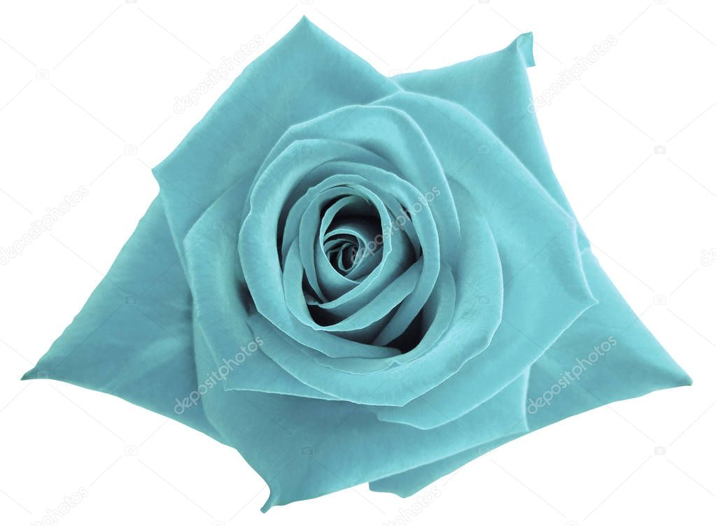 Turquoise rose flower  on white isolated background with clipping path.  no shadows. Closeup.  Nature.